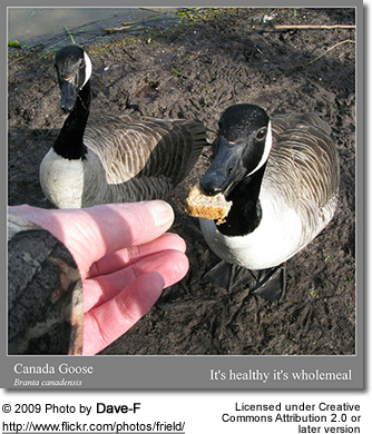 an essay on the migratory patterns of canada goose The pattern of migration can vary within each category, but is most variable in short and medium distance migrants  canada, has more about this  the cornell .