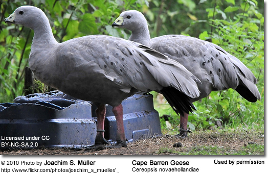 how to draw cape barren geese