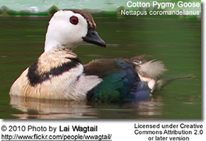 Cotton Pygmy-goose or Cotton Teal