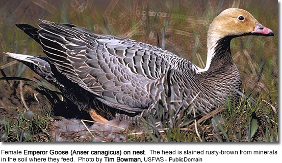 Female Emperor Goose (Anser canagicus) on nest.