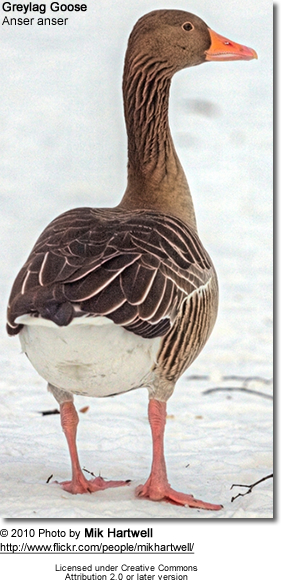 Greylag Goose (also spelled Graylag in the United States), Anser anser