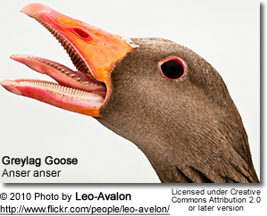 Greylag Head Detail