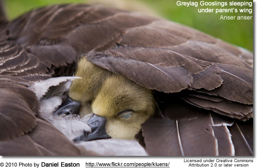 Greylag Goose (also spelled Graylag in the United States), Anser anser - Gooslings sleeping under mom's wing