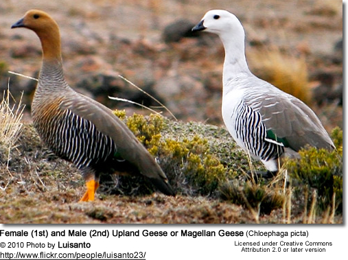 Female (1st) and Male (2nd) Upland Goose or Magellan Goose