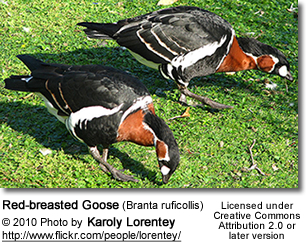 Red-breasted Goose (Branta ruficollis)