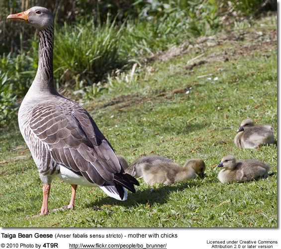 Taiga Bean Geese (Anser fabalis sensu stricto) - mother with chicks