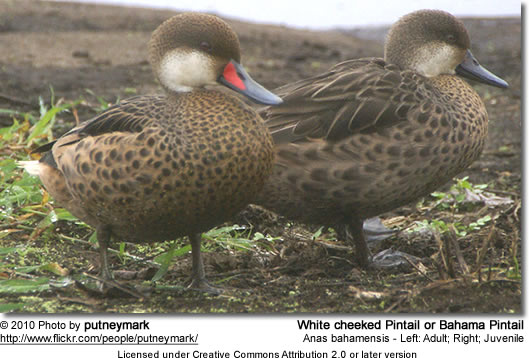White cheeked Pintail or Bahama Pintail (Anas bahamensis) - Left: Adult; Right: Juvenile