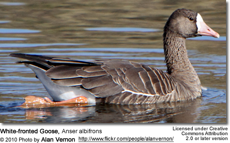 White-fronted Goose, Anser albifrons