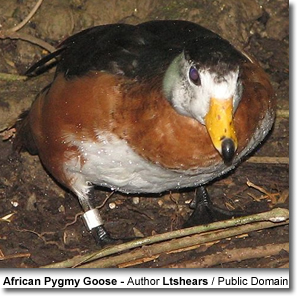 African Pygmy Geese