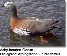Ashy-headed Goose