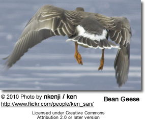 Bean Goose in flight