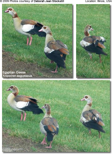 Egyptian Geese photographed in Illinois, USA