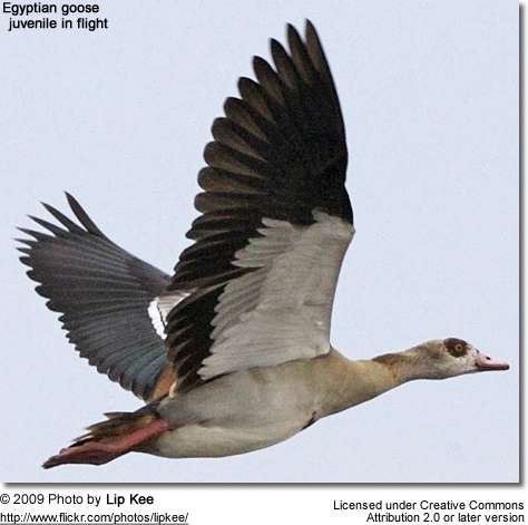 Egyptian Goose - Juvenile in flight