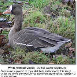 Greater White-fronted Goose, Anser albifrons