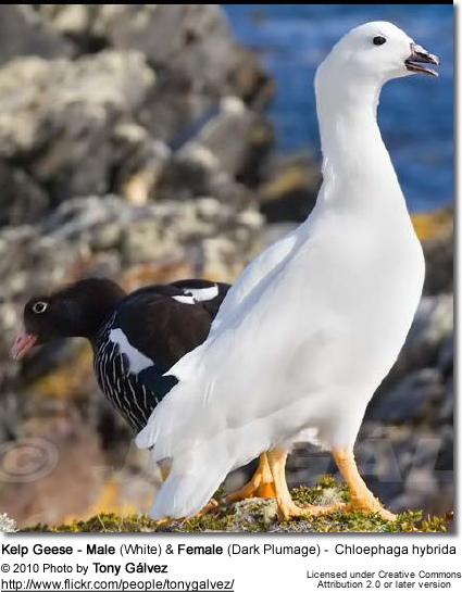 Kelp Geese - Male (White) and Female (Dark Plumage) - Chloephaga hybrida