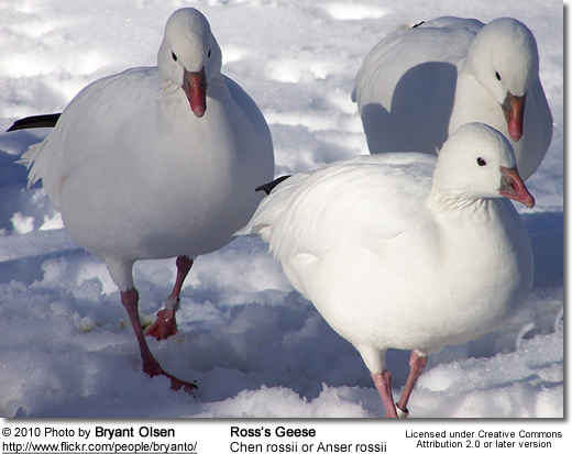Ross's Goose (Chen rossii or Anser rossii)