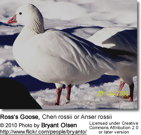 Ross's Goose, Chen rossii or Anser rossii