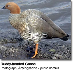 Ruddy-headed Goose (Chloephaga rubidiceps)