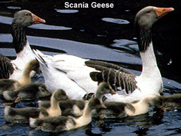 Scania or South Swedish Geese
