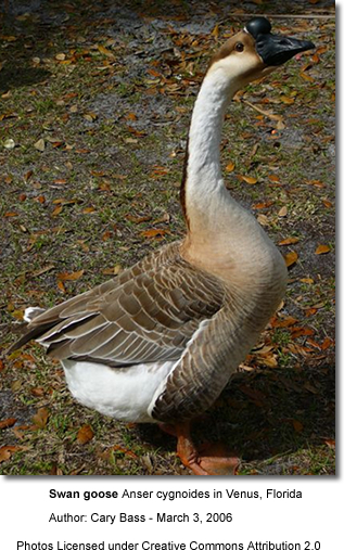 African goose vs chinese goose - photo#11