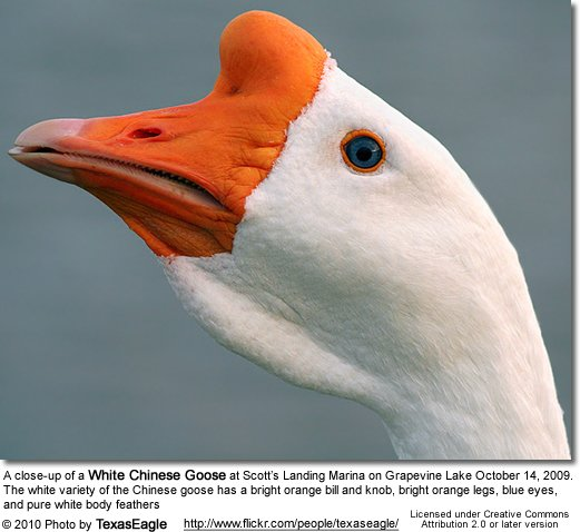 A close-up of a White Chinese Goose at Scott's Landing Marina on Grapevine Lake October 14, 2009. The white variety of the Chinese goose has a bright orange bill and knob, bright orange legs, blue eyes, and pure white body feathers