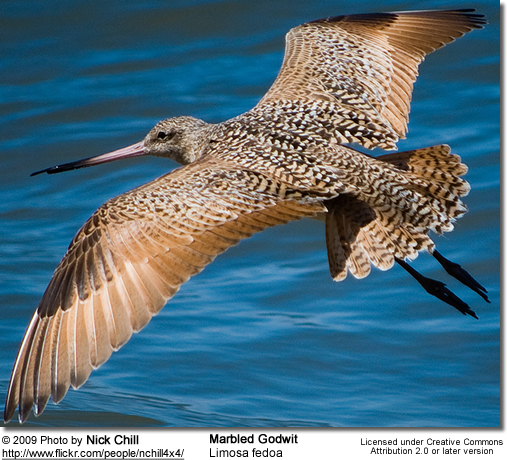 Marbled Godwit, Limosa fedoa in flight