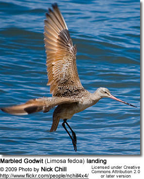 Marbled Godwit Facts