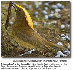 Golden-fronted Bowerbirds