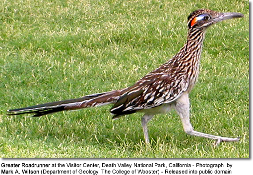 Greater Roadrunner at the Visitor Center, Death Valley National Park, California