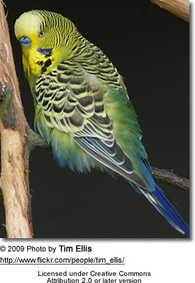 Normal Green Budgerigar in its natural environment