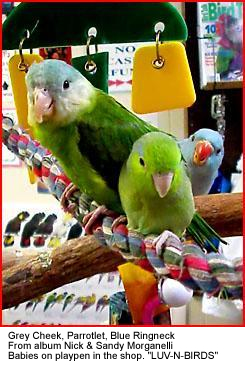 Grey-cheek Parakeets