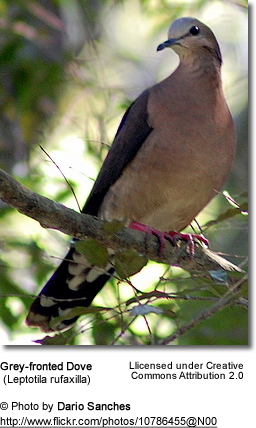 Grey-fronted Dove