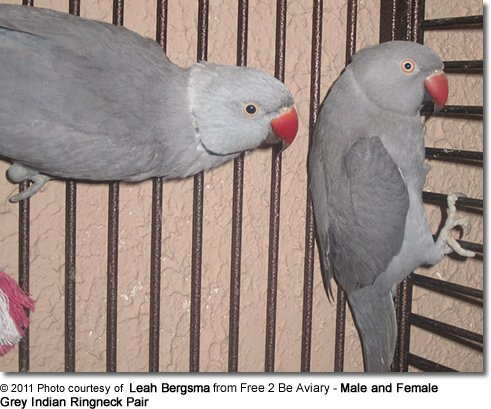 Grey Indian Ringneck Pair