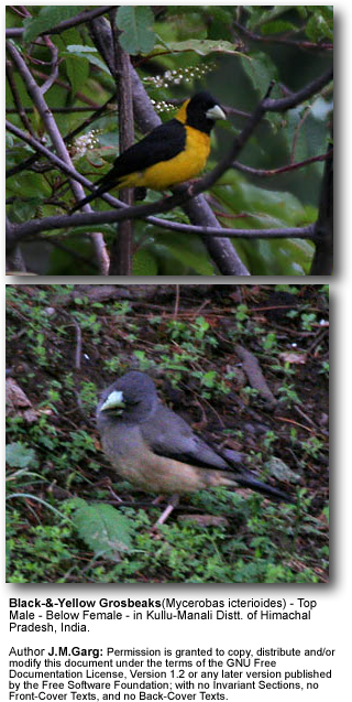 Black and Yellow Grosbeaks