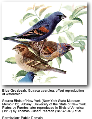 Blue Grosbeaks