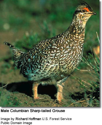 ale Columbian Sharp-tailed Grouse
