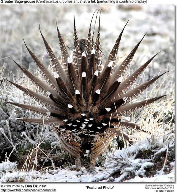 Greater Sage-grouse (Centrocercus urophasianus) - featured photo