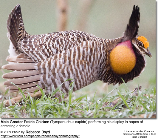 Male Greater Prairie Chicken performing his courtship dance