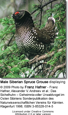 Male Siberian Spruce Grouse