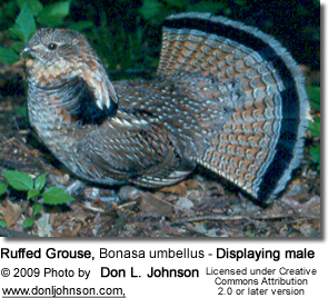 Ruffed Grouse, Bonasa umbellus - Displaying male