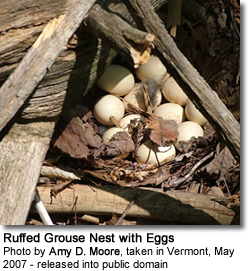 Ruffed Grouse Nest with Eggs