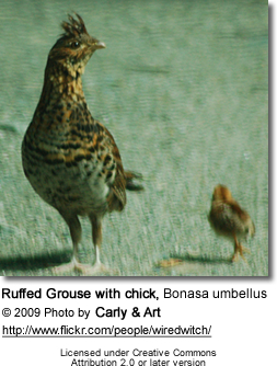 Ruffed Grouse with chick