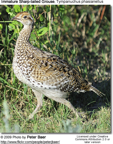 Immature Sharp-tailed Grouse - Immature