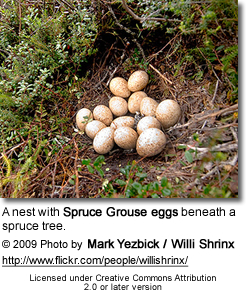 Spruce Grouse eggs