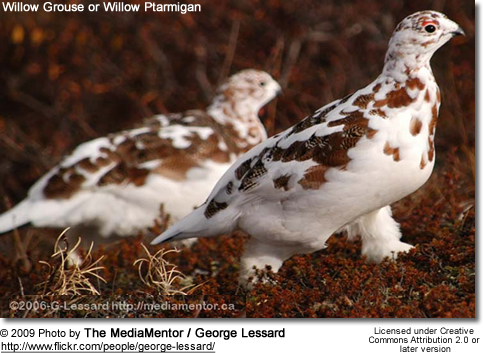 Willow Grouse of Europe, and called Willow Ptarmigan