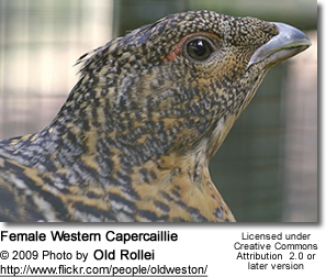 Female Western Capercaillie
