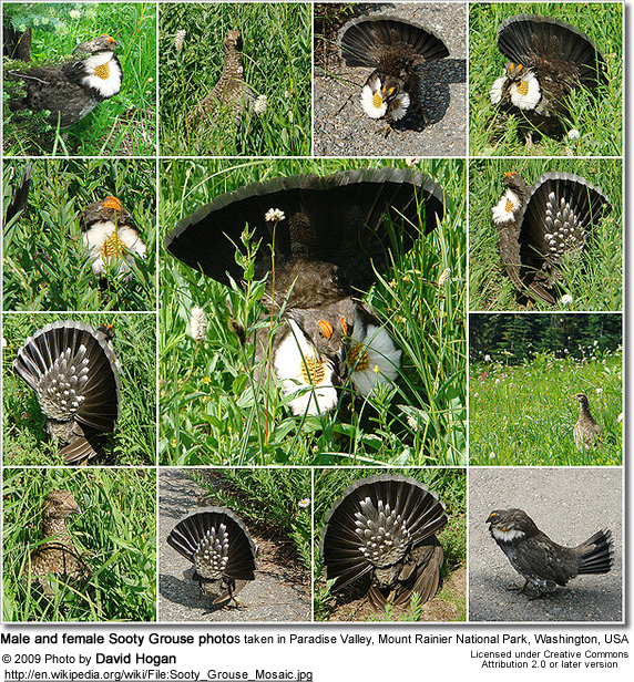 collection of male and female Sooty Grouse photos taken in Paradise Valley, Mount Rainier National Park, Washington, USA