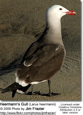 Heermann's Gull (Larus heermanni)