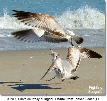 Fighting Sea Gulls