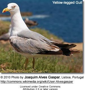 Yellow-legged Gulls